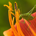 Katydid On Daylily by Paul R Sell Jr