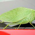 Katydids- Bush Crickets by Ricky L Jones