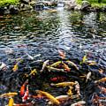 Kauai Koi Pond by Darcy Michaelchuk