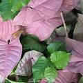 Kauai  Pinks by Carol Sweetwood