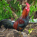 Kauai Rooster by Mary Deal