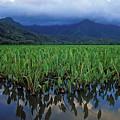 Kauai Taro Field by Kathy Yates