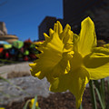 Kayak Launch Daffodil Cambridge Ma by Toby McGuire