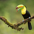 Keel Billed Toucan Perched On A Branch In The Rain Forest by Chris Jimenez