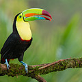 Keel Billed Toucan Perched On A Branch In The Rainforest by Chris Jimenez