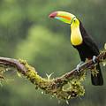 Keel-billed Toucan Perched Under The Rai by Chris Jimenez