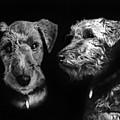 Keeper The Welsh Terrier by Peter Piatt