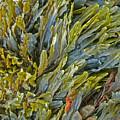 Kelp On A Rock by Mark Sellers