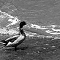Kemah Duck by Jorge Gaete