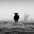 Kentucky Cows by Todd Fox