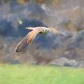 Kestrel Flying by Roy Pedersen