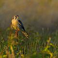 Kestrel In Meadow by William Jobes