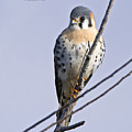 Kestrel On A Stick by Mike Fitzgerald