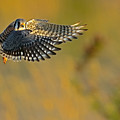 Kestrel Takes Flight by William Jobes