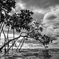 Key Largo Mangroves by Louise Lindsay