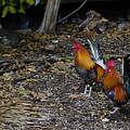 Key West Chickens by David Arment