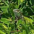 Key West Green Iguana Blending In by Bob Slitzan