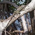 Key West Iguana In Mangrove 3 by Bob Slitzan