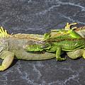 Key West Iguana Needs To Buy A Baby Carriage by Bob Slitzan