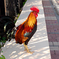 Key West Rooster by Susanne Van Hulst
