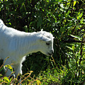 Kid Goat In Bushes by Robert Hamm