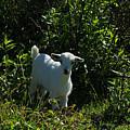 Kid Goat On A Farm by Robert Hamm