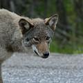 Killarney Coyote by David Porteus