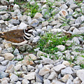 Killdeer 1 by Douglas Barnett