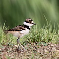 Killdeer - 24 Hours Old by Travis Truelove