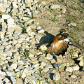 Killdeer Broken Wing Act by Douglas Barnett