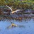 Killdeer Coming In For A Landing by Steve Samples