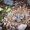 Killdeer Nest by Cricket Hackmann