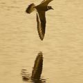 Killdeer Over The Pond by Carol Groenen