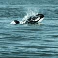 Killer Whale by Wilko Van de Kamp