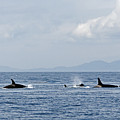 Killer Whales by Cindy Murphy - NightVisions