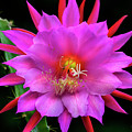Kimnach's Pink Orchid Cactus by Brian Tada