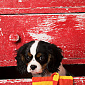 King Charles Cavalier Puppy  by Garry Gay