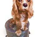 King Charles Spaniel Puppy by Edward Fielding