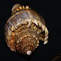 King Conch 2 - Photosbydm by Debbie May
