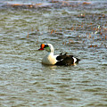 King Eider by Anthony Jones