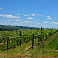 King Estate Vineyard by PJ  Cloud