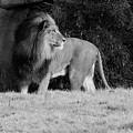King Of Beasts Black And White by Judy Whitton