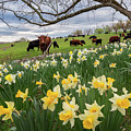 King Of The Daffodils by Bill Wakeley