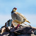 King Of The Hill - Chukar Partridge by TL Mair