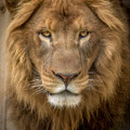 King Of The Jungle by David Pine
