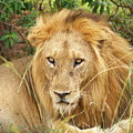 King Of The Jungle by William Linares  MistuhWill