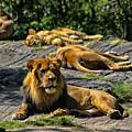 King Of The Pride by Karol Livote