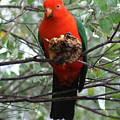 King Parrot by Brian Leverton