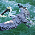 King Pelican by Clarence Ratliff