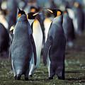 King Penguins Volunteer Point Falkland Islands by Brian Lockett